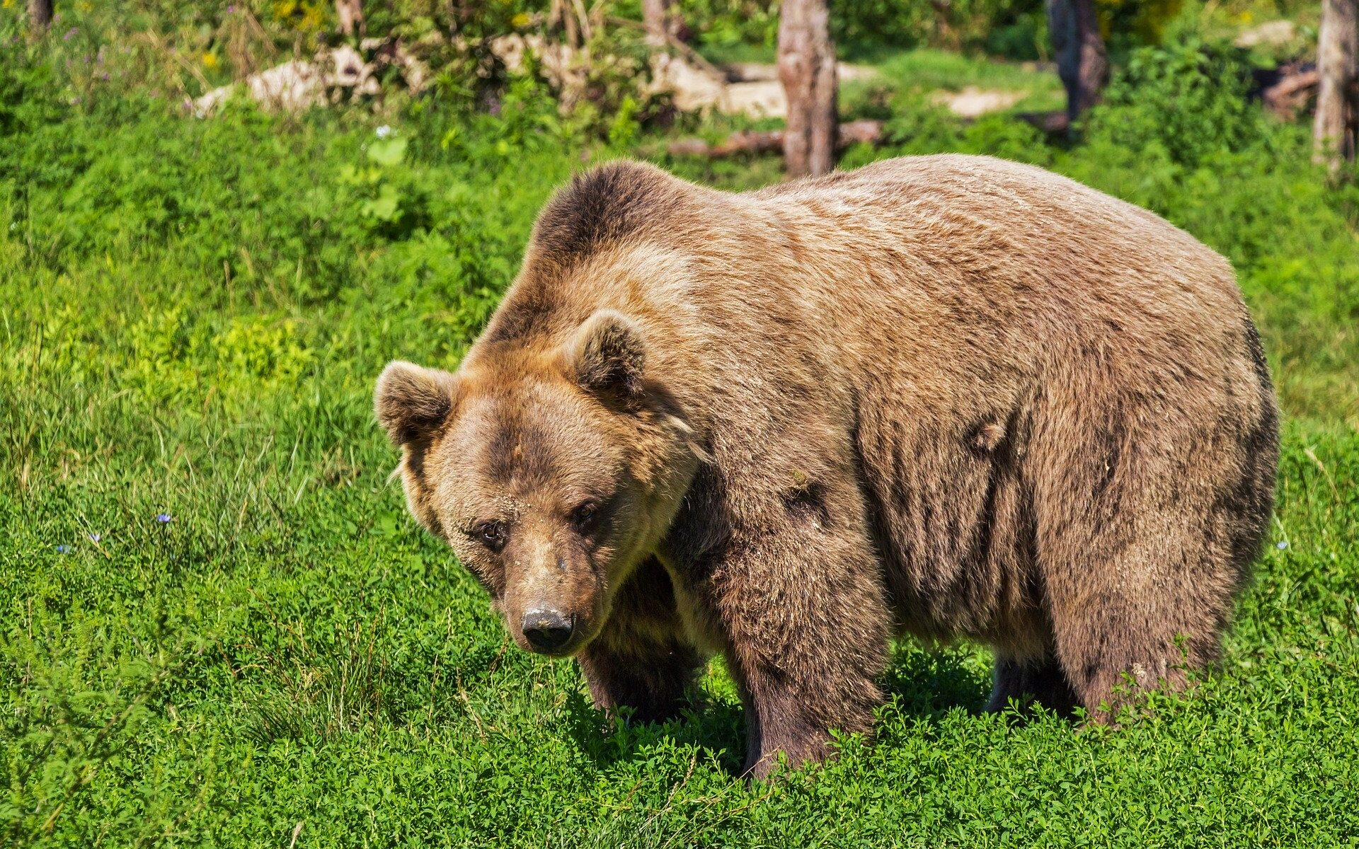 pixabay, orso